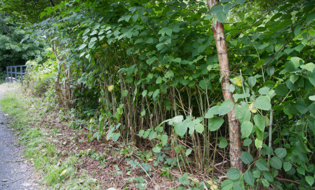 Awareness and concern over Japanese Knotweed growing